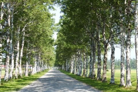 音更町駒場の白樺並木~猛暑日の翌日