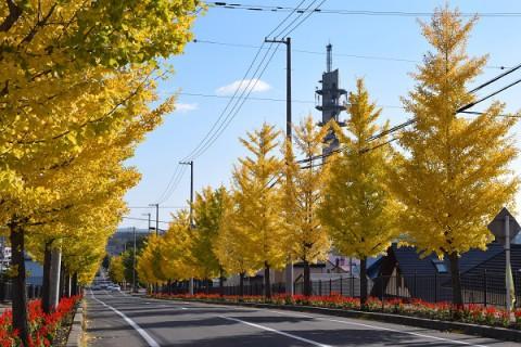 十勝の風景・音更町のイチョウ並木