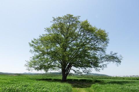 豊頃町・はるにれの木