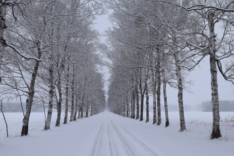 カメラスケッチ・雪の白樺並木(駒場)