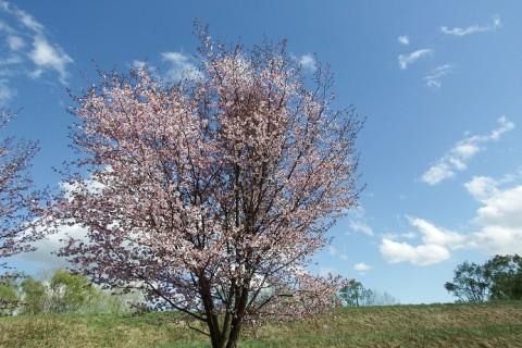 せっかくの桜が…