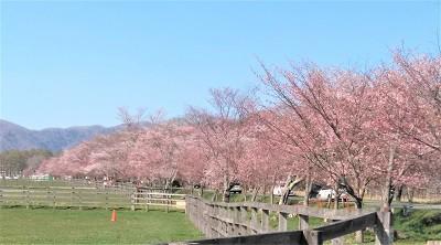 人生の凪(なぎ)―北海道各地の今年の桜