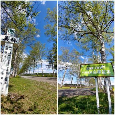 新緑が眩しい季節になりました!! 『白樺並木』