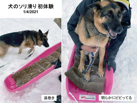 犬のソリ滑り(?)初体験