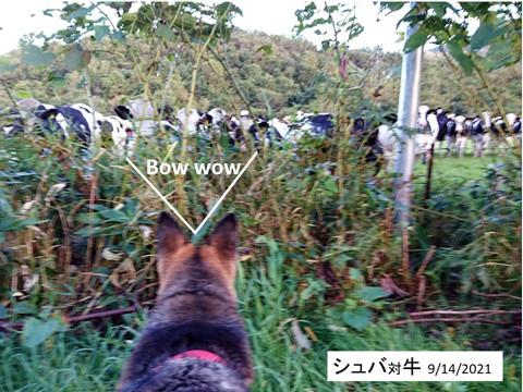 「犬」対「放牧牛」の反応