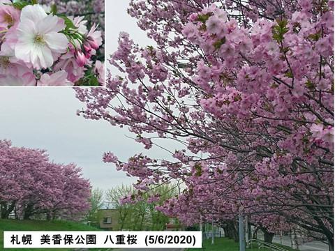 札幌 美香保公園の八重桜 ピンクできれい